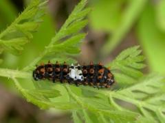 Papilio machaon_Daucus carota_JYB.JPG