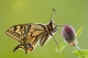 Machaon (Papilio machaon) [copyright Mentens Jeroen]