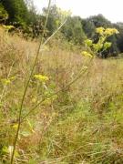 Pastinaca sativa subsp. urens