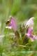 Pedicularis sylvatica [copyright]