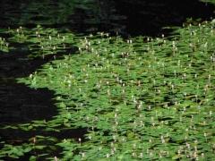 C1.34 - Végétation flottante enracinée des eaux eutrophes