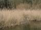 C3.21 - Phragmitaies (roselières « vraies »)