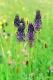 Phyteuma nigrum [copyright]