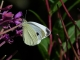 Pieris mannii 02 [copyright]