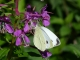 Pieris mannii 03 [copyright]