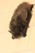 Pipistrelle de Nathusius (Pipistrellus nathusii) [copyright Dutilleul Simon]