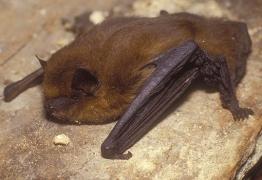 Pipistrelle commune (Pipistrellus pipistrellus) [copyright Walravens Eric]