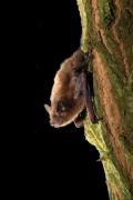 Pipistrellus_pygmaeus_Dutilleul.JPG