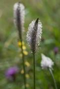 E2.11bb - Prairies pâturées permanentes pas ou peu fertilisées (Galio-Trifolietum)