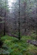 Plantation d'épicéa sur milieu tourbeux.jpg