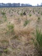 Jeune plantation d'épicéas sur mise à blanc [copyright Wibail Lionel]