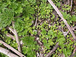 plantules berce1