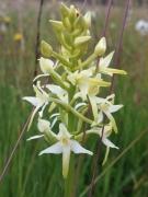 Platanthera bifolia [copyright]