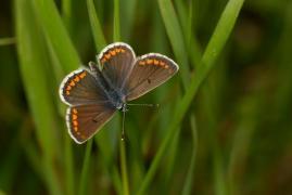 Collier-de-corail (Plebeius agestis) [copyright Barbier Yvan]