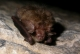 Oreillard roux (Plecotus auritus) [CC by-sa San Martin Gilles]