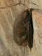 Oreillard roux (Plecotus auritus) [copyright Rock Tony]