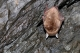 Oreillard roux (Plecotus auritus) [CC by Smits Quentin]