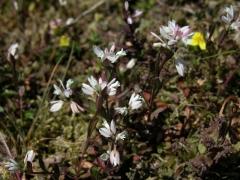 Polygala serpyllifolia.JPG