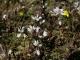 Polygala serpyllifolia [copyright]