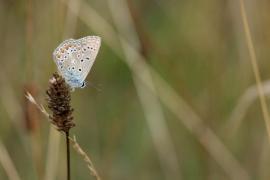 polyommatus_icarus_tkinet.jpg