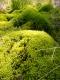 Polytrichum commune [copyright]