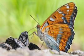 Grand Sylvain (Limenitis populi) [copyright Toussaint Philippe]