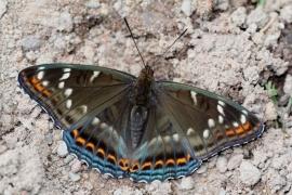 Grand Sylvain (Limenitis populi) [CC by Fichefet Violaine]