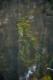 Potamogeton crispus
