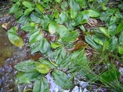 Potamogeton polygonifolius
