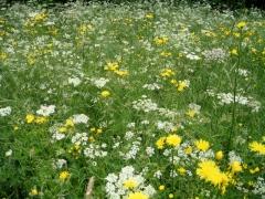 Prairie de fauche moyennement fertilisée.jpg
