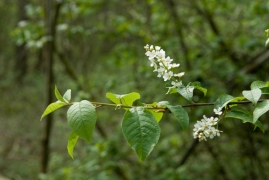 Prunus padus.jpg
