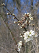 Prunus spinosa [copyright]