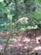 Pteridium aquilinum 2