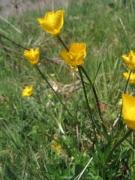 Ranunculus bulbosus [copyright]