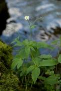 Ranunculus platanifolius.jpg