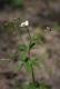 Ranunculus platanifolius_2.jpg