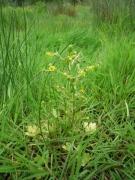 Ranunculus sceleratus.jpg