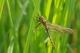Cordulie bronzée (Cordulia aenae) Mâle immature. [copyright Cors Ruddy]