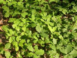 Rég Quercus Nethen