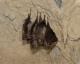Rhinolophus_ferrumequinum_JLG_02.jpg