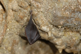 Rhinolophus_hipposideros_JLG_10.jpg
