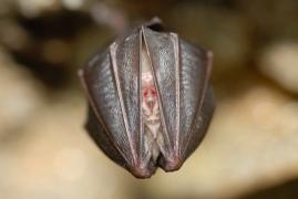 Rhinolophus_hipposideros_JLG_13.jpg