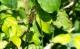 Cordulie à taches jaunes (Somatochlora flavomaculata ) Mâle. [copyright De Broyer Aalin]