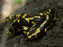 Salamandra salamandra, adultes [copyright Kinet Thierry]