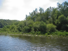 Saussaie riveraine [copyright Wibail Lionel]