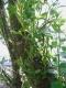 Salix purpurea [copyright]