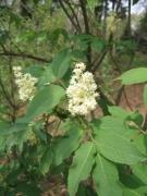 Sambucus racemosa [copyright]
