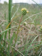 Sanguisorba minor 2