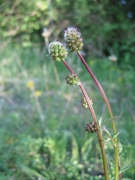 Sanguisorba minor [copyright]
