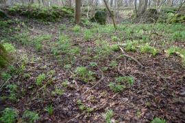 Bois Bellin, station de Helleborus viridis subsp. occidentalis (mars 2017) [copyright Barbier Yvan]